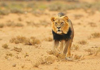 Africa Botswana Black Maned Lion Thumbnail