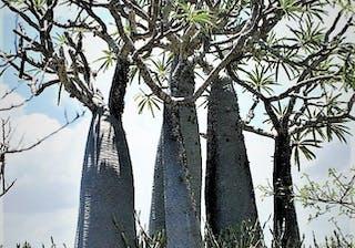 Anakao Pachypodiums