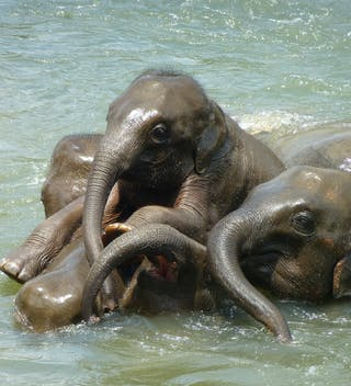 Baby Elephants In  Sri  Lanka