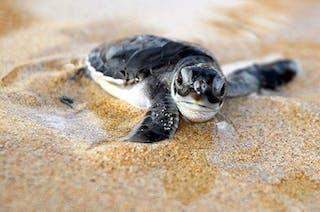 Baby Turtle Principe