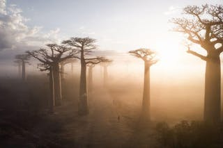Baobab Tree Of Life