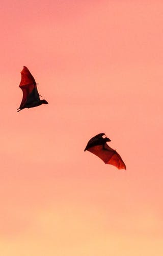 Bat Migration Gilmour Dickson Kasanka National Park