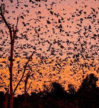 Bats At Kasanka National