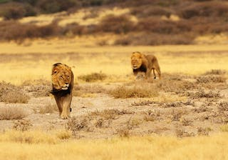 Black Maned Lions Of Kgalagadi