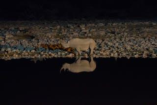 Black Rhino Night Etosha Waterhole