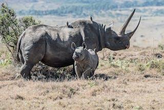 Black Rhino Tracking Kenya