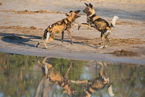 Sunway  Botswana  Moremi Wilddogs  Bruce  Taylor