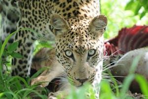 Botswana Moremi Leopard