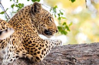 Sunway  Botswana  Moremi Leopard  Gianluca  Trainito 12