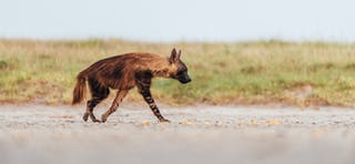 Brown Hyena 2