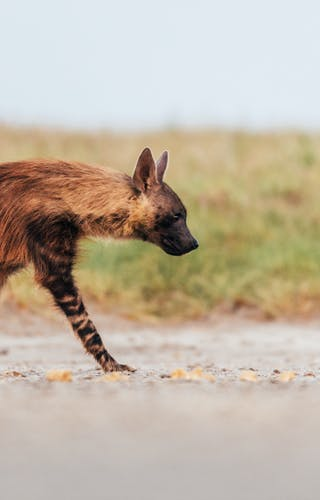 Brown Hyena 2