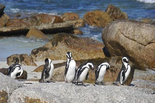 Sunway  South  Africa  Boulders  Beach Penguins