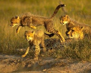 Cheetah Cubs Leaping1