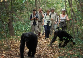 Chimpanzee Tracking 1 750X450