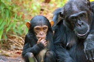 Chimps In Mahale