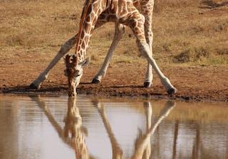 El  Karama  Giraffe 3