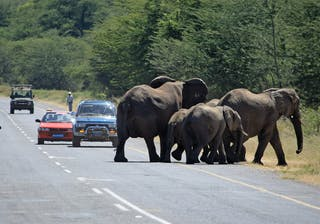 Elephants Crossing Road In Botswana