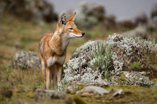 Ethiopian Wolf Canis Simensis Sanetti Plateau Bale Mountains National Park Ethiopia
