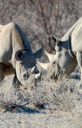 Etosha Heights  Wildlife  Rhino11