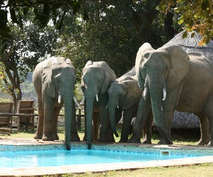 Flatdogs Camp Elephants Drinking From Pool