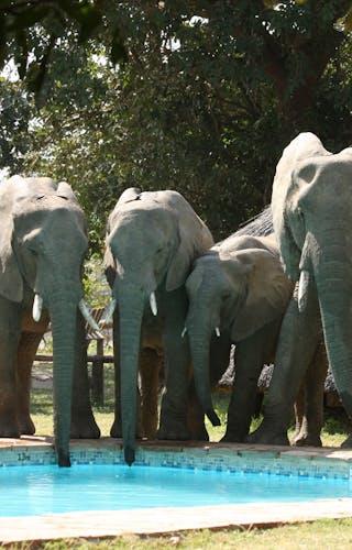 Flatdogs Camp Elephants Drinking From Pool