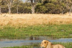 Gomoti Plains Lion