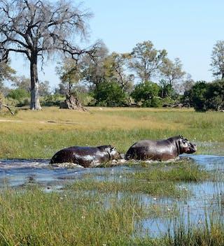 Hippos Botswana