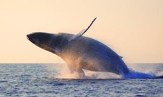 Humpback Whales Madagascar
