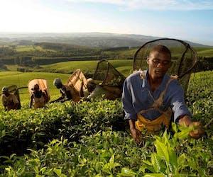 Huntingdon House Satemwa Tea Pickers