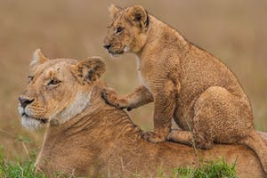 Lions  Maasai  Mara