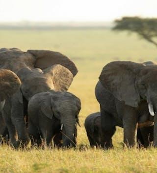 Maasai Mara Elephants