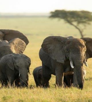 Maasai  Mara  Elephants  A