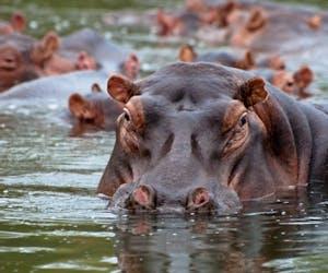Mvuu Camp Hippo