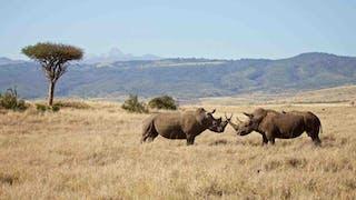 Laikipia Black Rhino