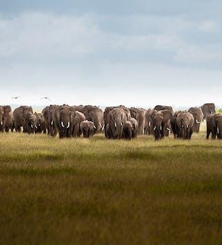 Large Heard Of Elephants Can Be Found In Amboseli Kenya