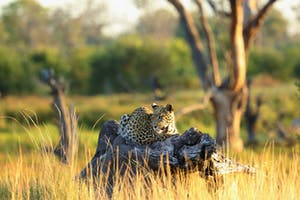 Leopard On A Trunk Khwai Tented Camp Botswana African Bush Camps 2