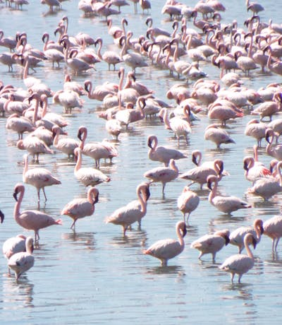 Lesser Flamingos at Lake Elementeita Mbweha Camp
