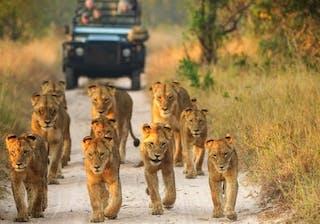 Lions Sabi Sands
