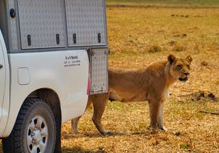 Lions Self Drive Moremi Botswana