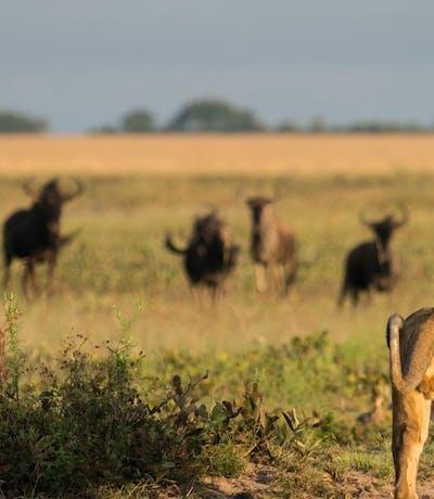 Liuwa Lion Luxury Zambia Safaris