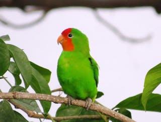 Love Bird Sao Tome