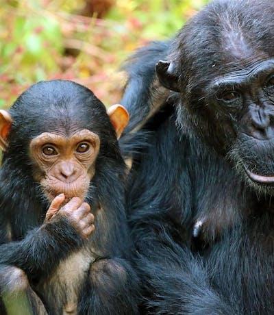 Kungwe Beach Lodge Chimpanzee