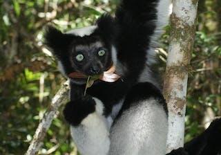 Indris Rach 1