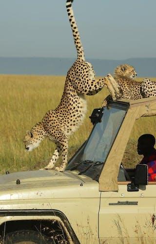 Mara Ngenche Cheetah On Game Vehicle