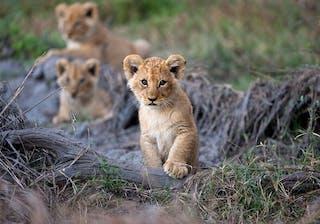 Moremi Lion Cubs