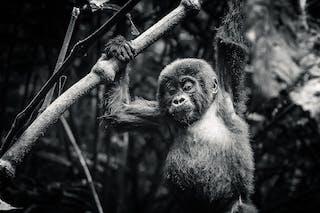 Mountian Gorilla Trekking Rwanda Uganda