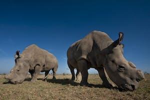 Olpejeta Two Rhinos Kenya Safari1
