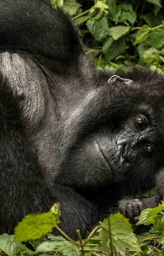 One And Only Nyungwe House Gorillas Nest Copy