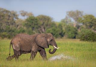 Pangolin  Khwai  Camp  Elephant