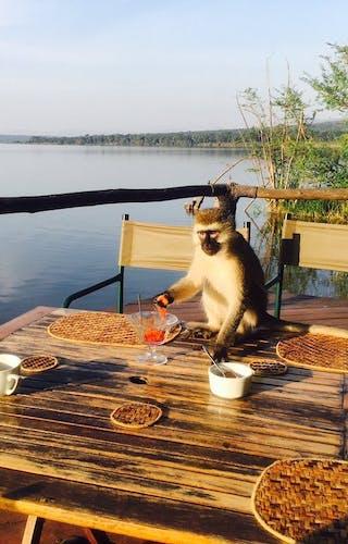 Ruzizi Tented Lodge Monkey Breakfast
